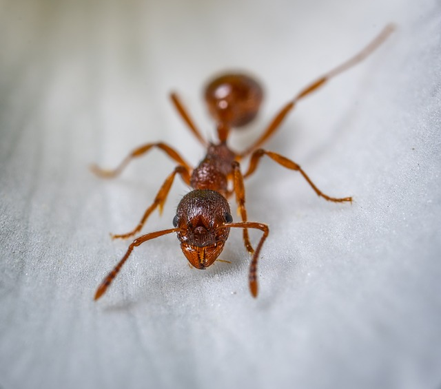 טיפול בנמלת האש