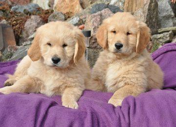 אוכל לגורי כלבים מסוג גולדן רטריבר