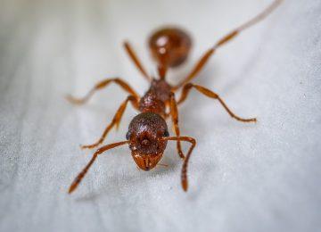 מחפשים טיפול בנמלת האש ?
