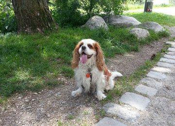 בית גידול ייעודי לכלבים מסוג קינג צארלס